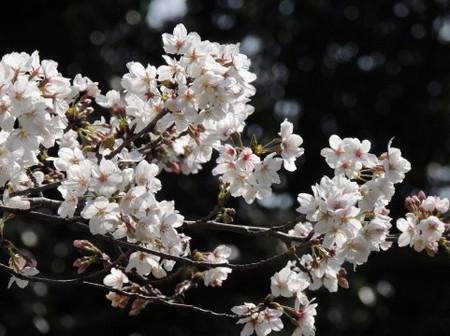 Sakura0130