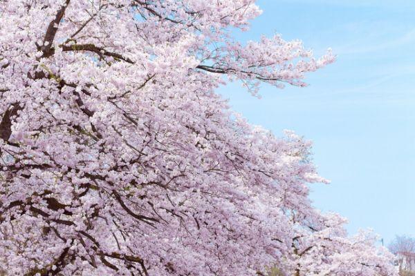 Sakura_mankai
